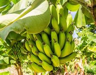 How AI is helping banana growers reduce waste and help the environment